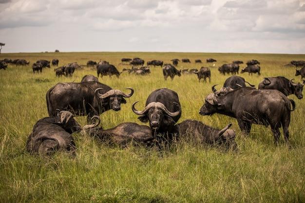 Буйвол в засушливой среде обитания в национальном парке серенгети