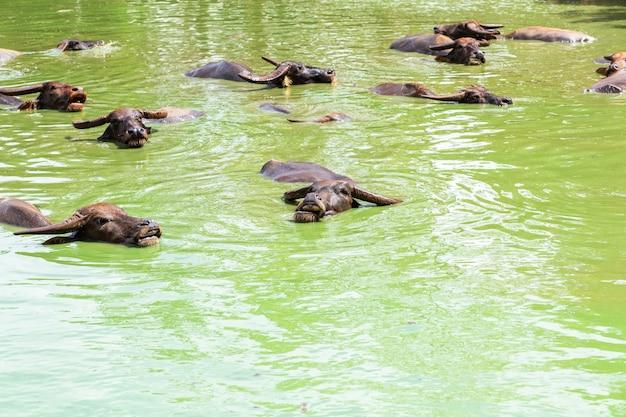 池のバッファロー