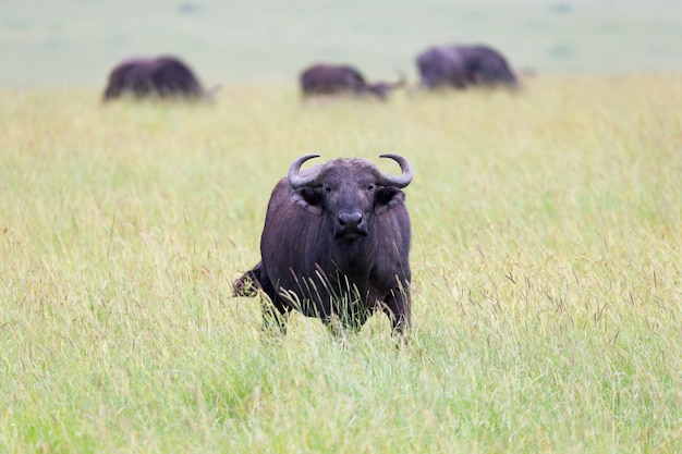 The buffalo is standing in the middle of the meadow in the grass landscape