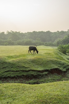 A buffalo in a large field in the morning