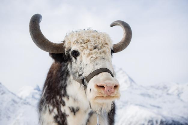 Buffalo in the mountains
