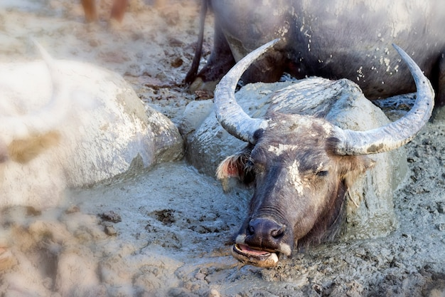 Buffalo in mud, water buffalo muddy in mud pond relaxes time animal