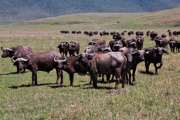 케냐와 탄자니아, 아프리카에서 사파리에 버팔로