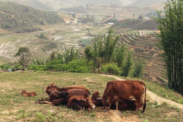Buffalo on the rice field in vietnam