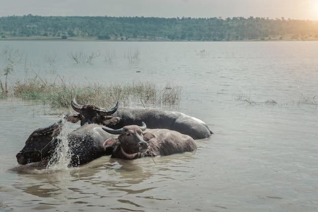 Buffalo in the river