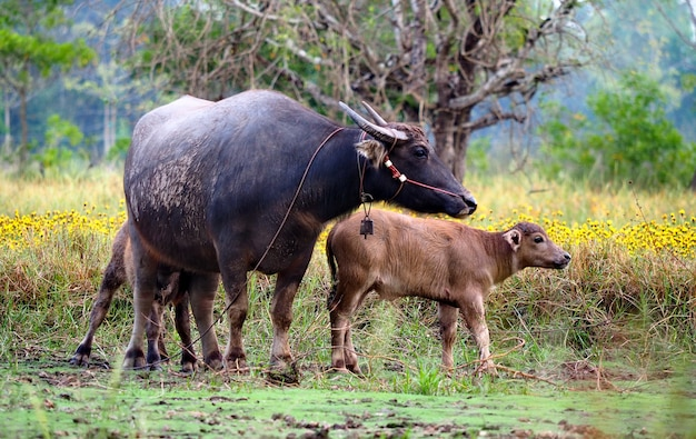The buffalo and son are in the field.