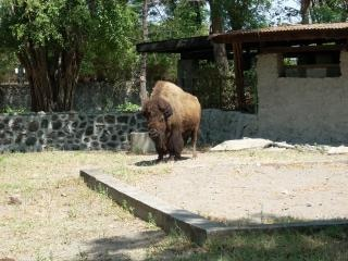 Buffalo at surabaya zoo