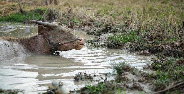 Buffalo in the water.