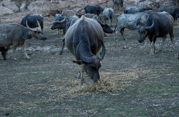 The buffalo who is the leader of the herd will be entitled first.