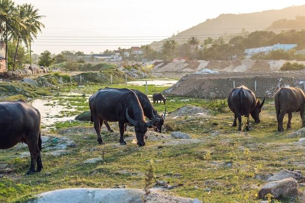 Буйволы в поле во вьетнаме, нячанг.
