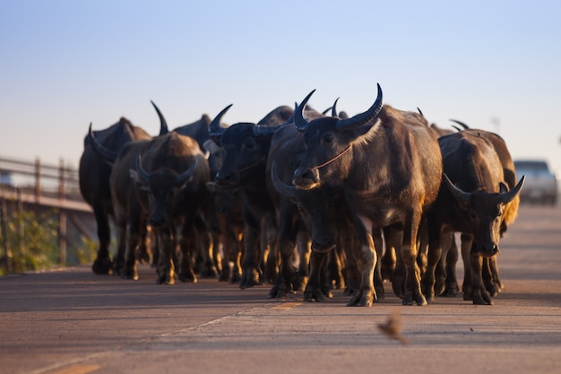Buffaloes walking on a road in rural thailand.