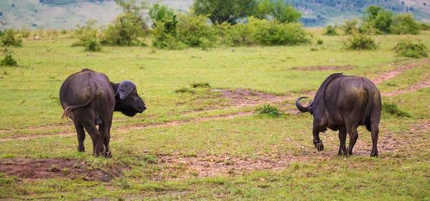 バッファローはケニアの国立公園の真ん中にあるサバンナに立っています。