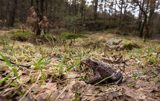 Маленькая жаба в большом лесу. обыкновенная жаба bufo bufo на пути к гнездовому пруду в апреле. норвегия.