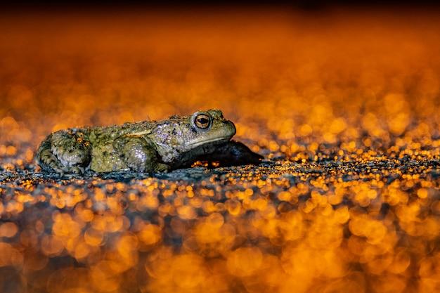 カエル、ベルギーの移行における一般的なヒキガエル(bufo bufo)ゴールデン背景