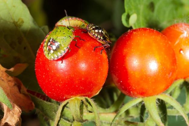 Bug pest harmful turtle on ripe tomatoes close-up