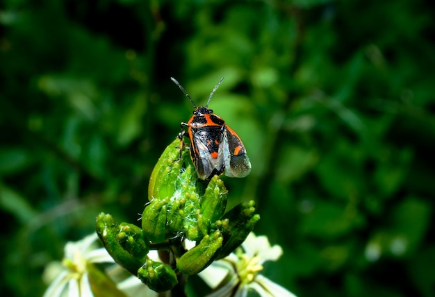 Bug red black sits on a green plant