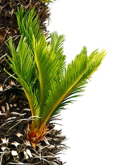 Cycas revoluta의 줄기 근처에서 자라는 전구.