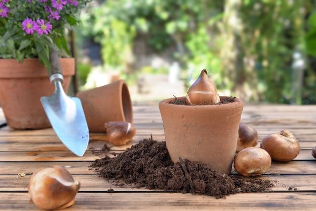 木製の庭のテーブルの汚れの間でテラコッタ鍋に花の球根