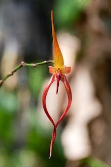 Bulbophyllum echinolabium цветок орхидеи цветущий