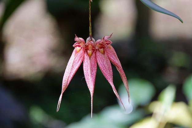 Цветок орхидеи bulbophyllum frostii цветущий