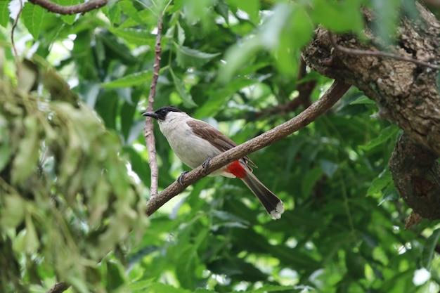 赤いひげわけbulbul美しい鳥の木ブランチ自然bacckgroundを保持