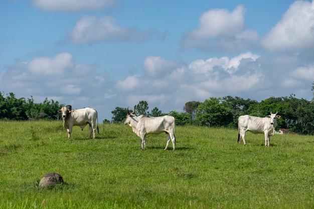 農場の牧草地の雄牛と牛