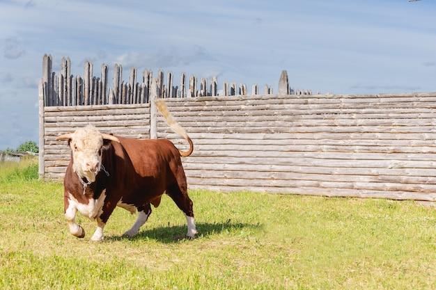 緑豊かな夏の牧草地に雄牛が鼻に輪のある大きな雄牛を堂々と立っていた