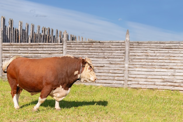 Бык, большой бык с кольцом в носу, величественно стоял на пышной летней поляне.