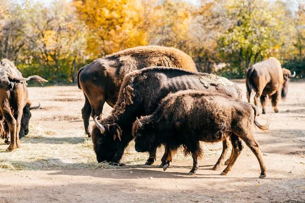 Bull bison closeup portrait in western europe zoo. furry brown dangerous herbivore animal habits in summer ooutdoor on field in wild nature. buffalo wildlife. prague zoo.