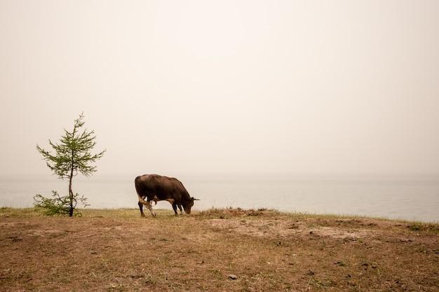 Бык пасется на берегу озера с туманом
