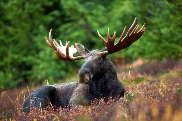 Bull moose rack male animal antlers  moose nature