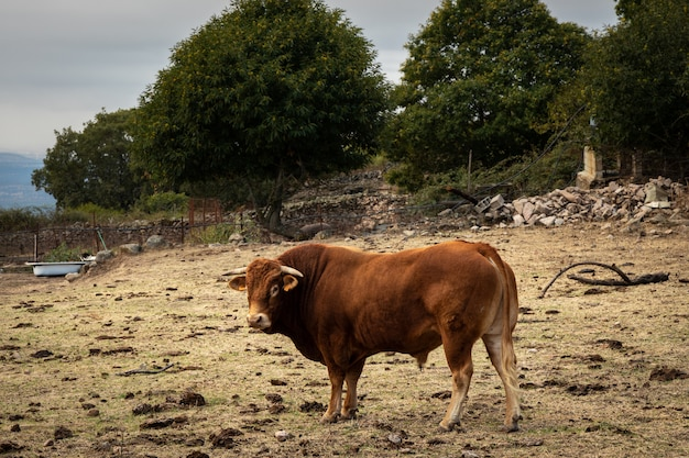 Bull raised as a stallion in a livestock farm.