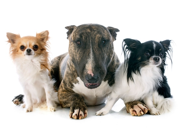 Bull terrier and chihuahuas