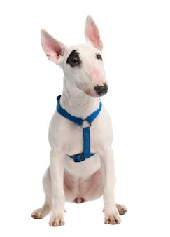 7ヶ月のブルテリアの子犬。分離された犬の肖像画