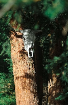 Bull witchcraft skull on tree. occult mystic place in altay deep fir forest
