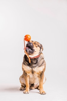 Bulldog playing with toy over white background