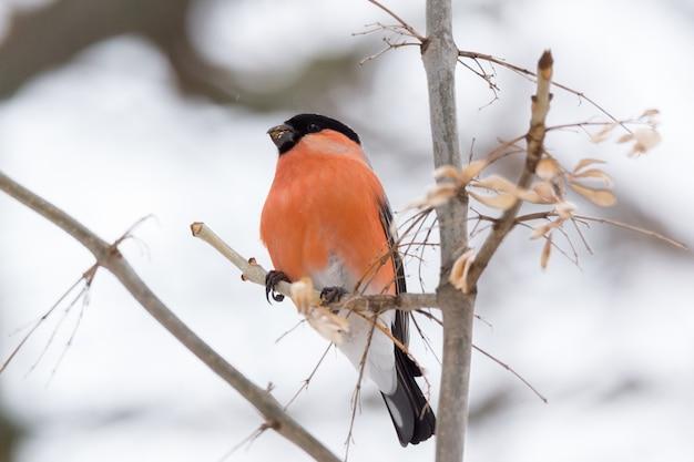 Bullfinch bird on the branch
