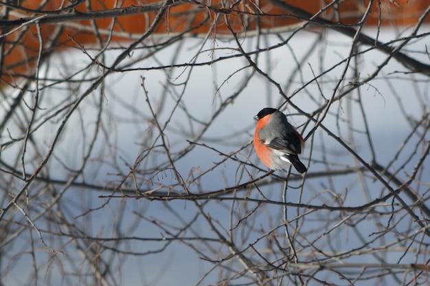枝に座っているウソ Premium写真
