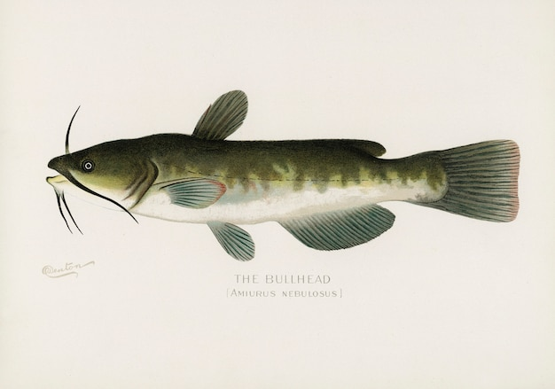 Bullhead; (amiurus nebulosus) illustrated by sherman f. denton (1856-1937)