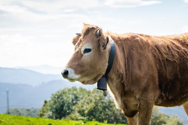 Быки и коровы, живущие на свободе в горах