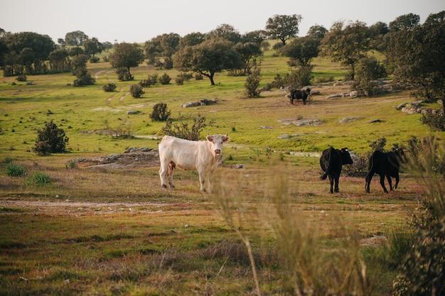 Extremadura 목초지를 통해 자유의 황소