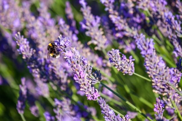 라벤더 꽃에서 꽃가루를 모으는 범블비
