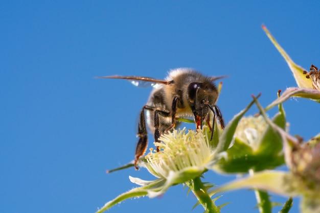 夏の日差しの中で花粉を集めるマルハナバチ