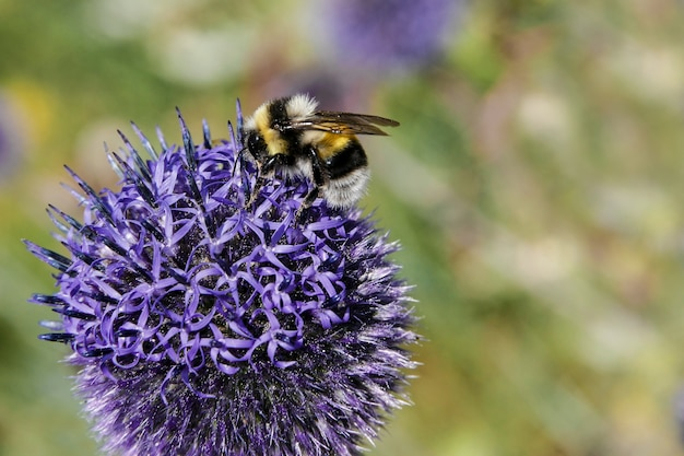 Bumble bee collects nectar from purple flower on blurred colorful background