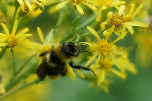 マルハナバチは花に働きかけます