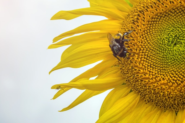 Bumblebee, bee and spider on the yellow flower of a sunflower, in the phase of filling seeds