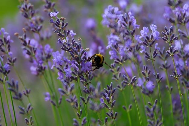 라벤더 lavandula에 꿀벌 봄버스 - 매크로 촬영