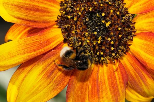 여름날 클로즈업 매크로 사진에 피는 해바라기 꽃에 꿀과 꽃가루를 수집하는 땅벌