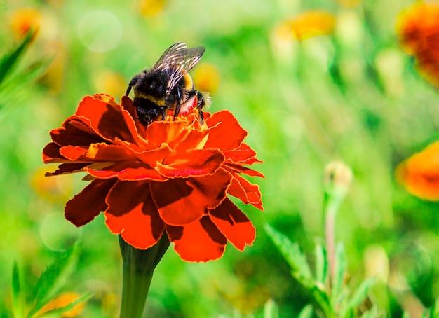 マルハナバチは、コピースペースで緑の焦点がぼけた背景にオレンジ色の花から蜜を収集します