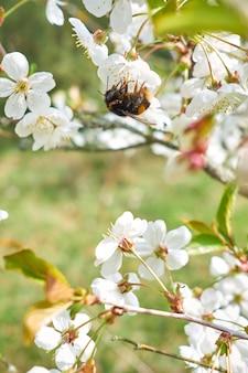 땅벌은 피 나무에서 꿀을 수집합니다.